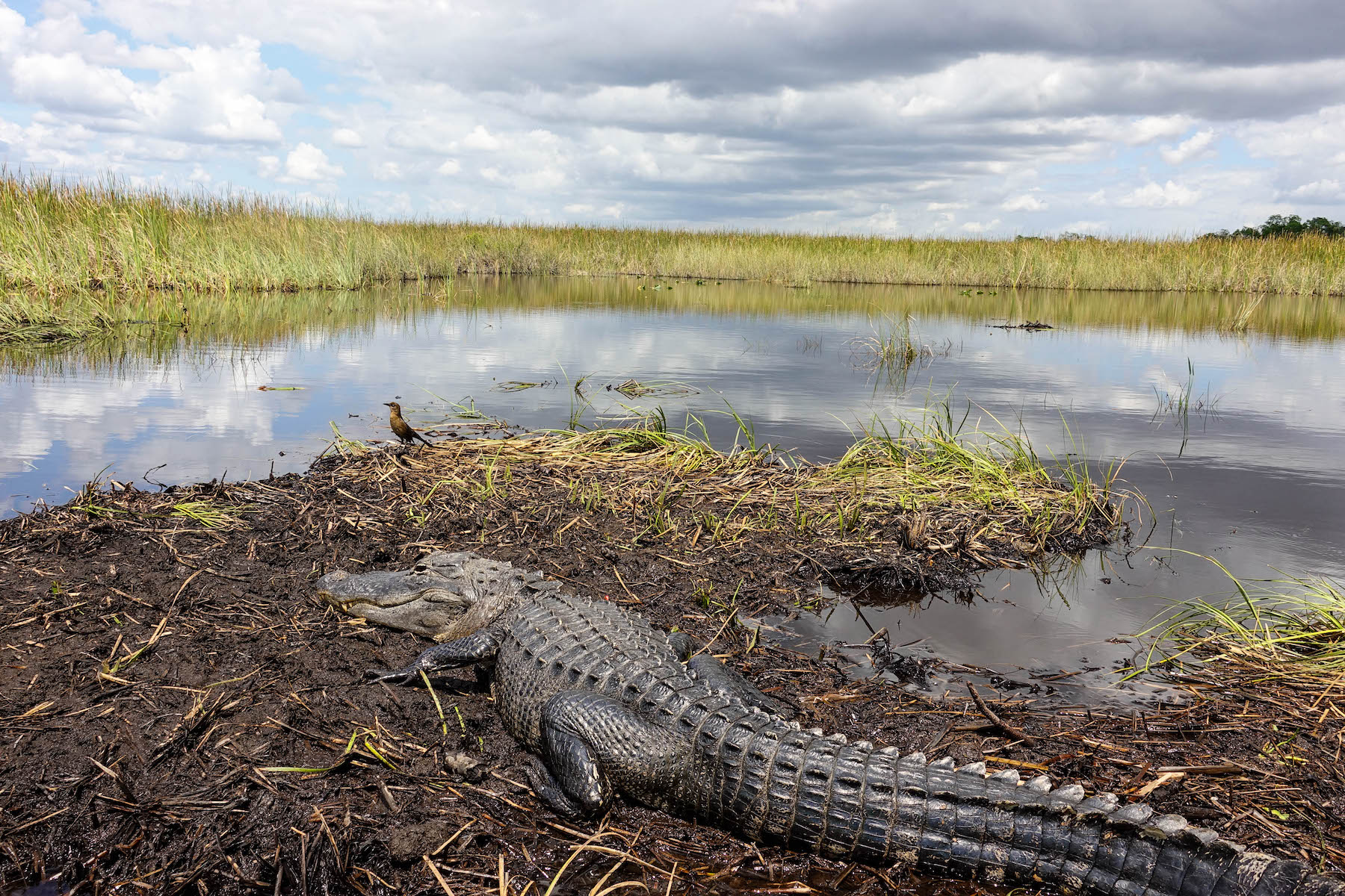 suelovesnyc_everglades_airboat_tour_buchen_buffalo_tiger_alligatoren_everglades